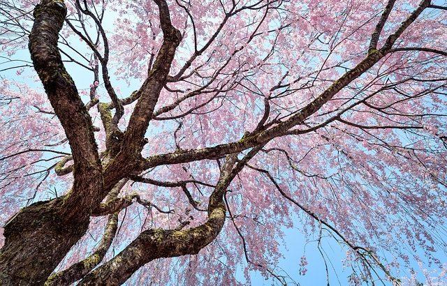花見の起源~なぜ日本人はサクラを愛でるようになったのか~